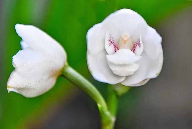 orquídeas que parece que tienen una paloma dentro
