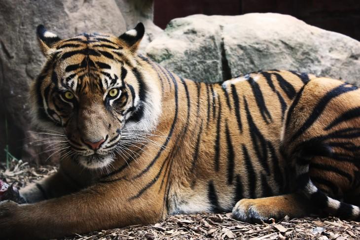 Tiger Animal Wallpaper Los 20 Animales Que Matan M 225 S Humanos Al A 241 O