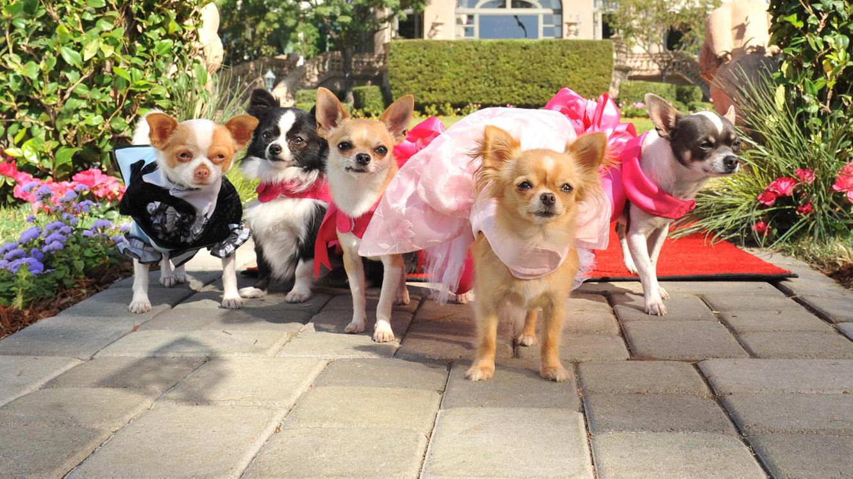 Cute Chihuahua Puppies Wallpaper 20 Razones Por Las Que No Deber 237 As Tener Un Chihuahua