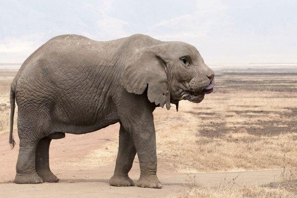 Elephant Photoshop Hybrid Animals