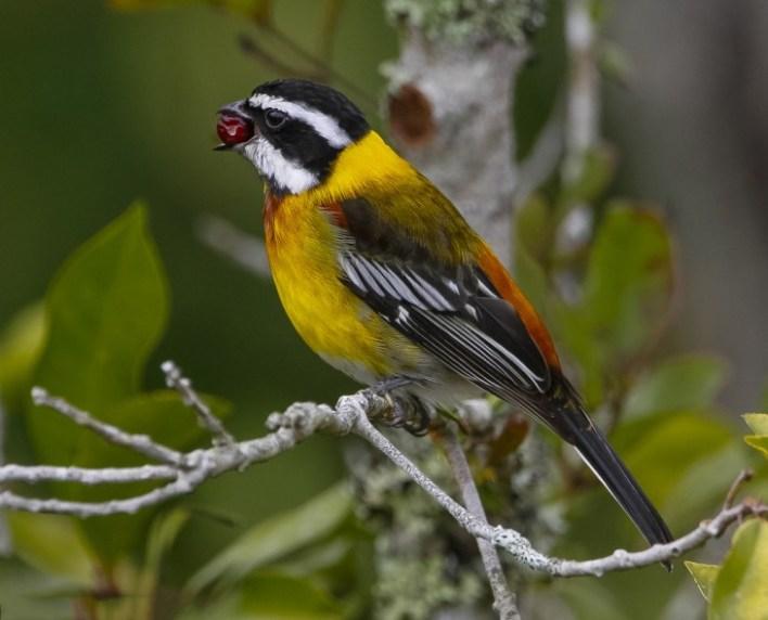 La Cigua Palmera es el ave nacional de República Dominicana