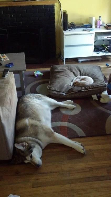 Cão ronco com um gato
