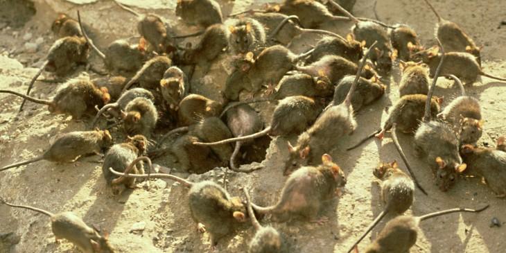 plaga de ratas negras en la edad media utilizadas para cortarles l as pieles y ponerselas en las cejas
