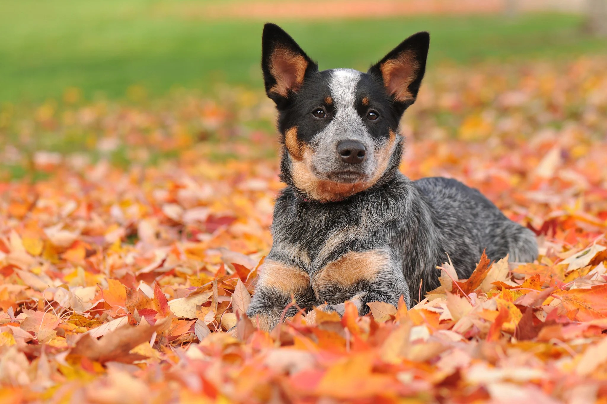 Puppies In Fall Wallpaper Estas Son Las Razas De Perros M 225 S Inteligentes Del Mundo