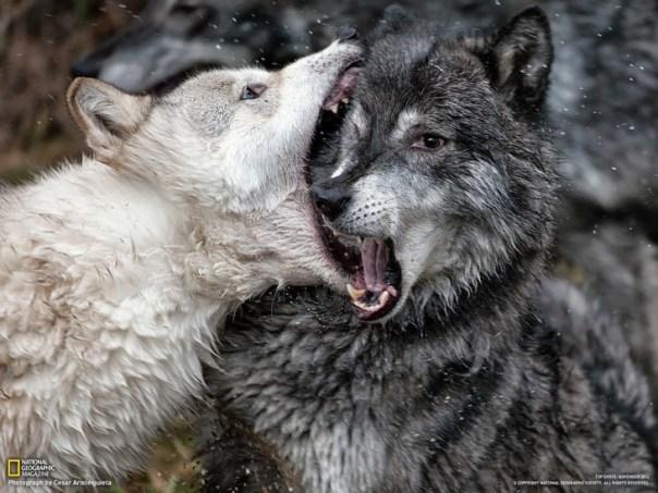 fotografía de un lobo mordiendo la cabeza de otro lobo