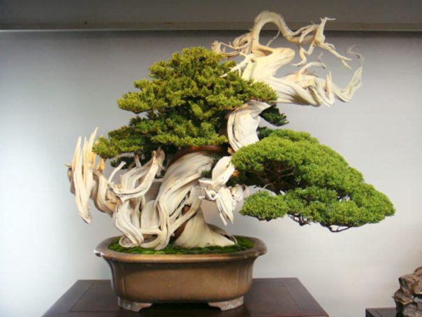 BONSAI MUY ANTIGUO