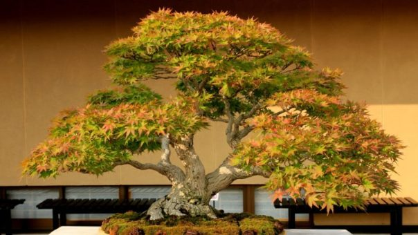 BONSAI DE MAPLE