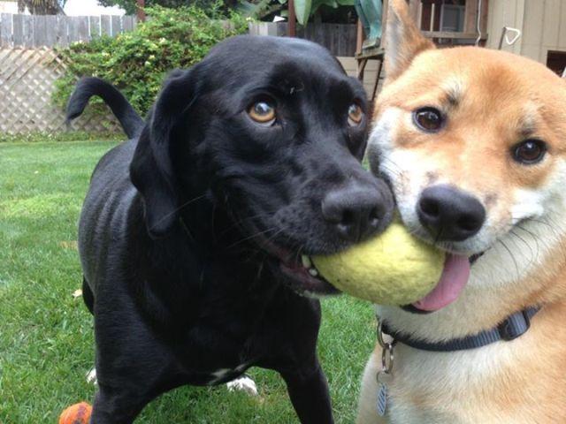perros jugando a la pelota
