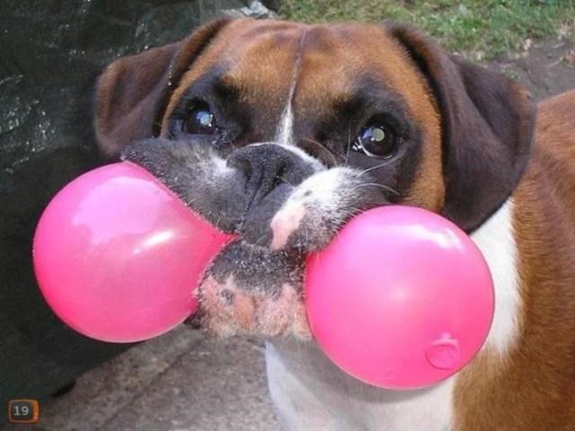 foto de chucho que juega con globo