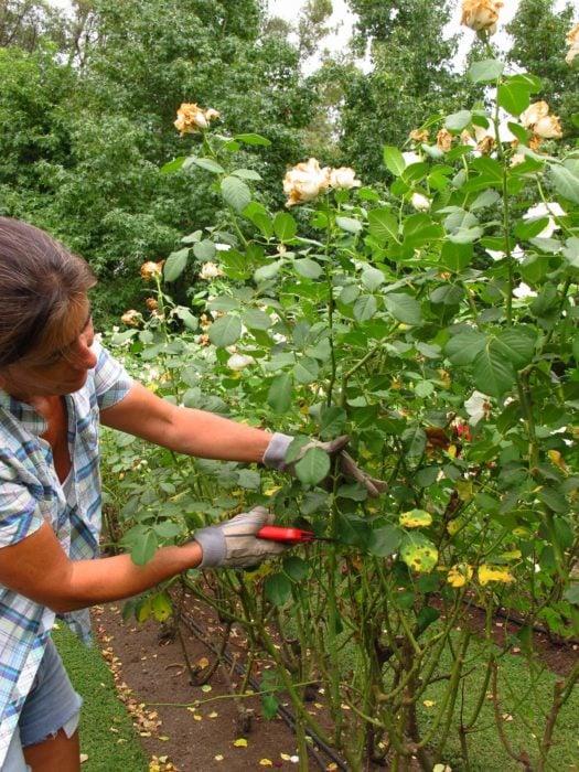 Mujer cortando rosas