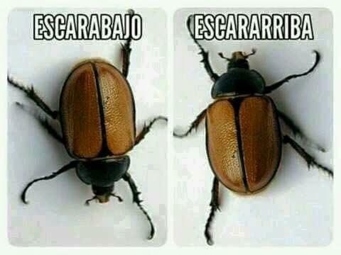 Memes fáciles escarabajo