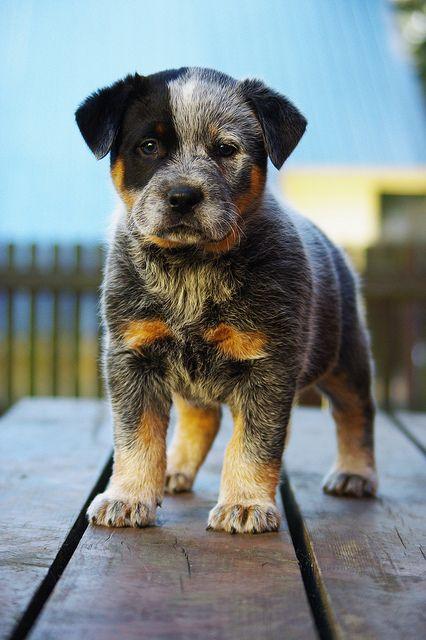 perrito con mancha negra en su ojo y todo él es gris con café
