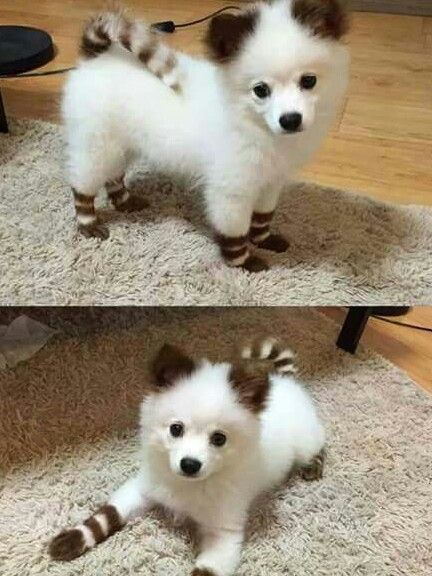 perro con cabello cafe en su sorejas y patas mas el es blanco