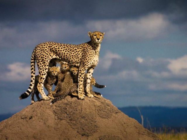 madre cheeta chita