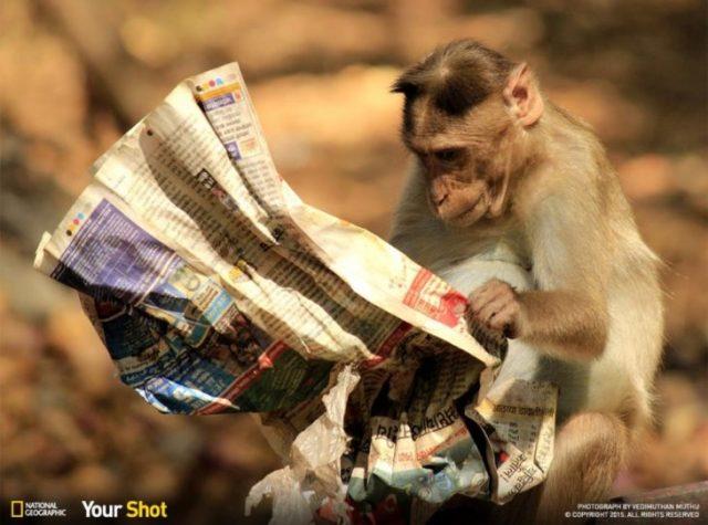 mono leyendo el periódico