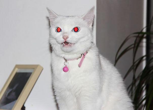gato blanco ojos de sangre