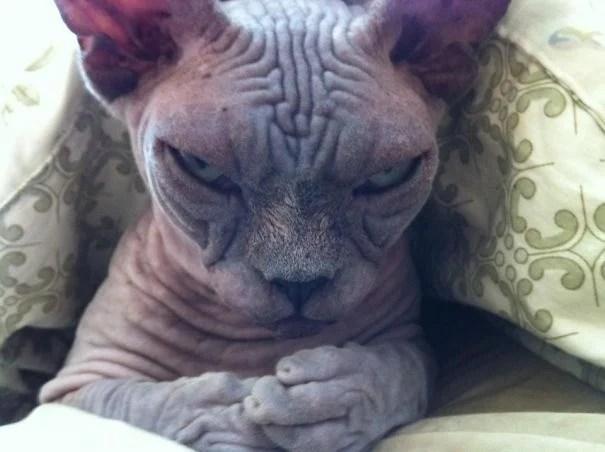 gato arrugado feo maldad