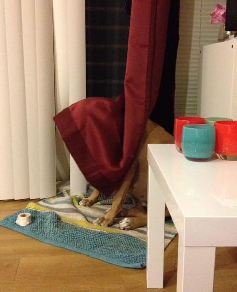 perro grande escondido en cortinas