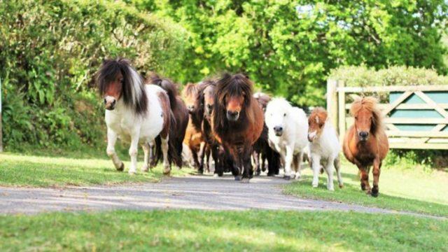 ponnys miniatura