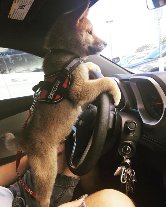 cachorro de pastor alemán al volante