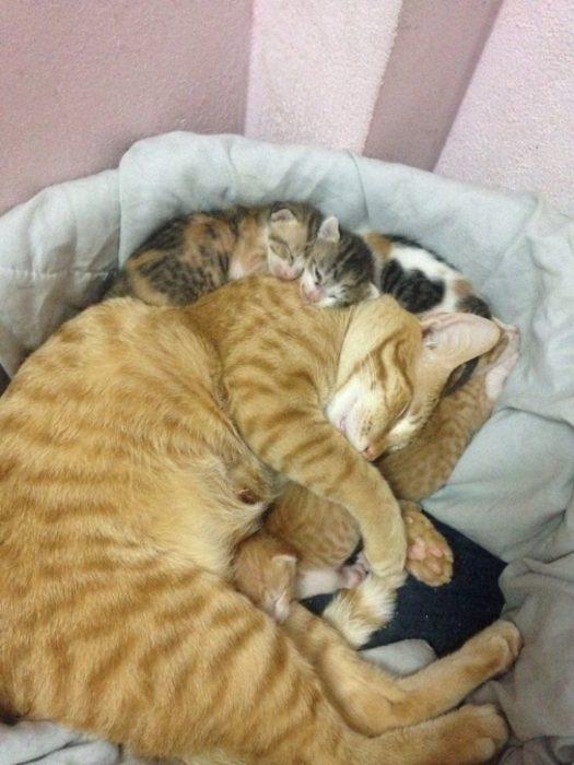 gato dormido con sus crías