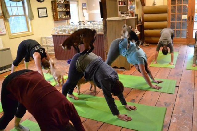 yoga con cabras 3