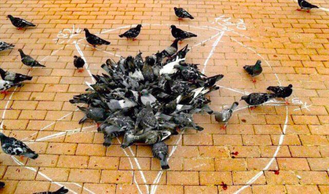 palomas acumuladas en una estrella dibujada en el piso