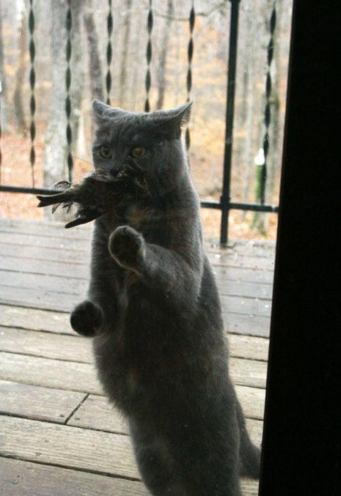 Gato con pájaro en el morro aguardando que le abran la puerta
