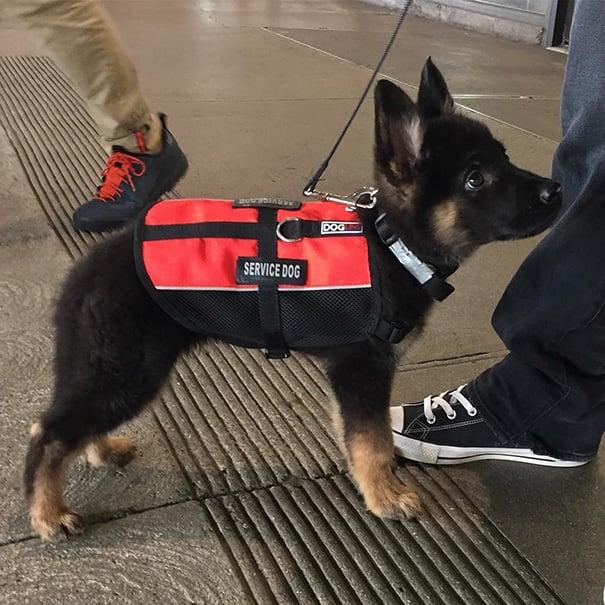 cachorro pastor alemán con un chalequito de servicio