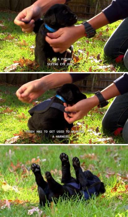 perro labrador de servicio utilizando su chaleco por primera vez