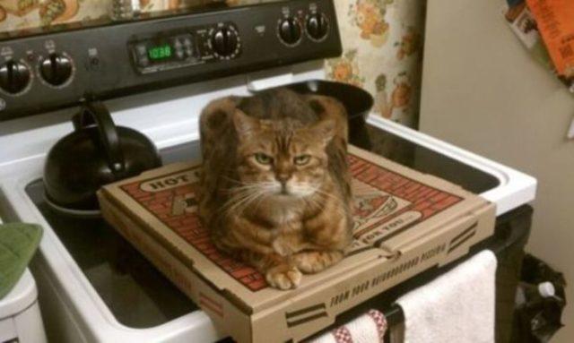 gato sobre caja de pizza
