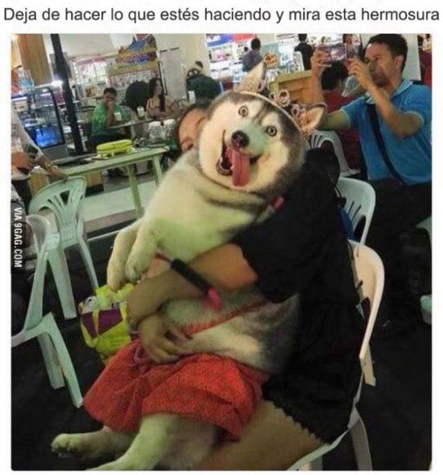 mira éste husky gordo