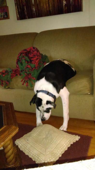 Perro en el sillón con las patas delanteras en el apartamento
