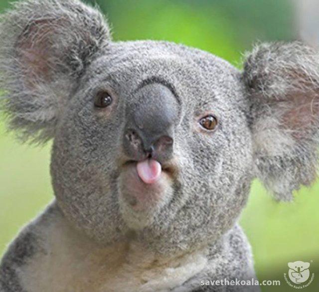 bello koala