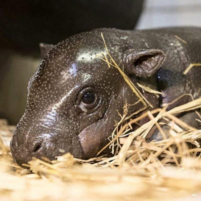 hipopotamo tieno