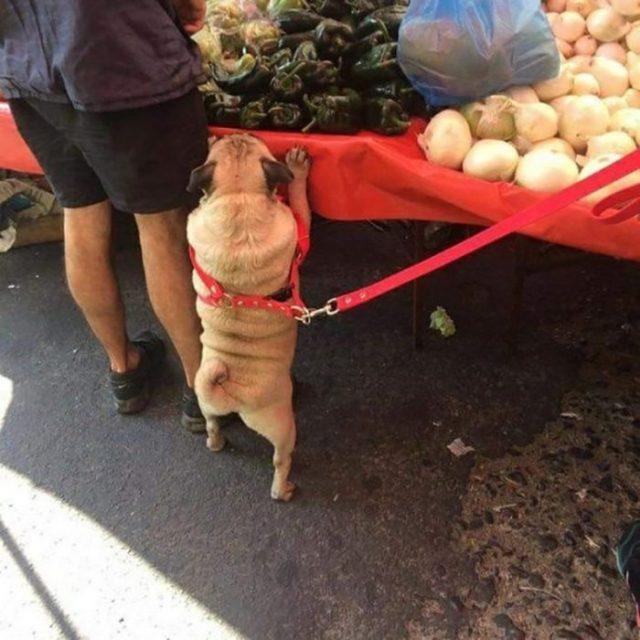 pequeño pug acompaña a propietaria al mercado