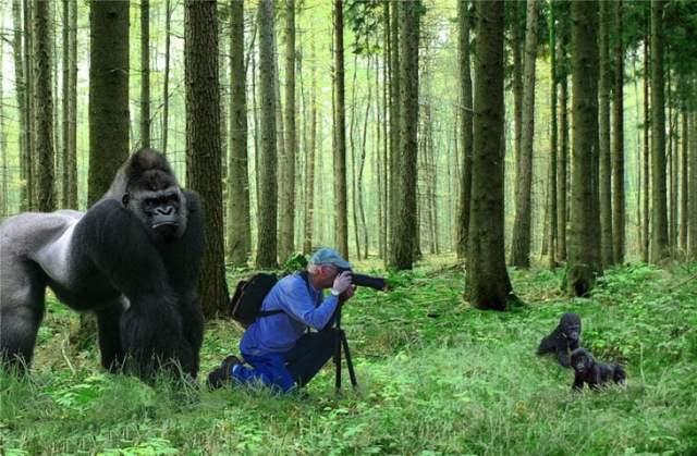 fotógrafo fotografiando a gorilas cachorros
