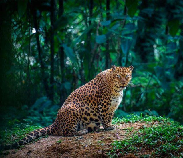 Leopardo hembra con gran vientre a punto de entregar a luz