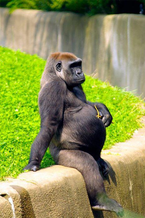 Gorila hembra en el zoologico con vientre de embarazada
