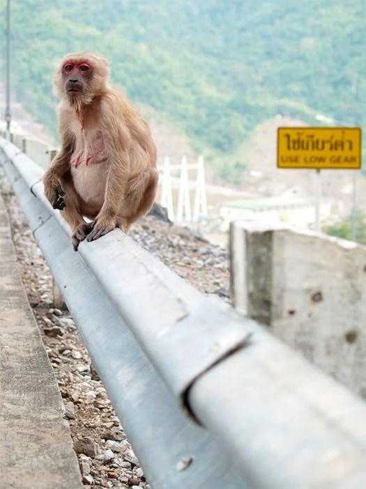macaco hembra a poco clima de entregar a luz