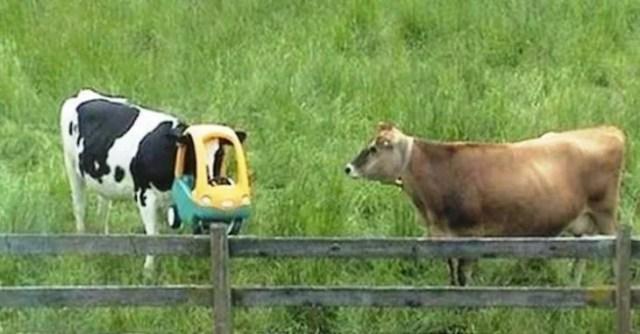 vaca atorada en un carro de juguete