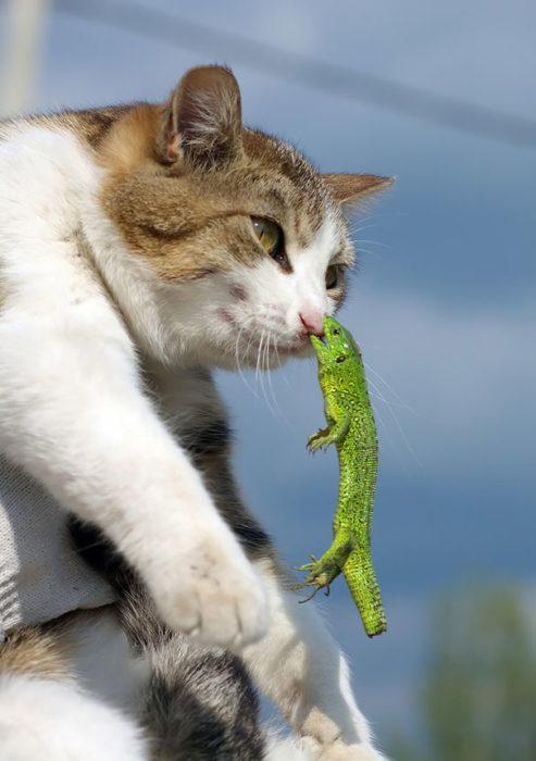 gato atacado por pequeña lagartija