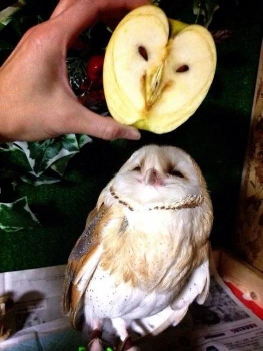 Manzana que tiene constituye de hacia de búho