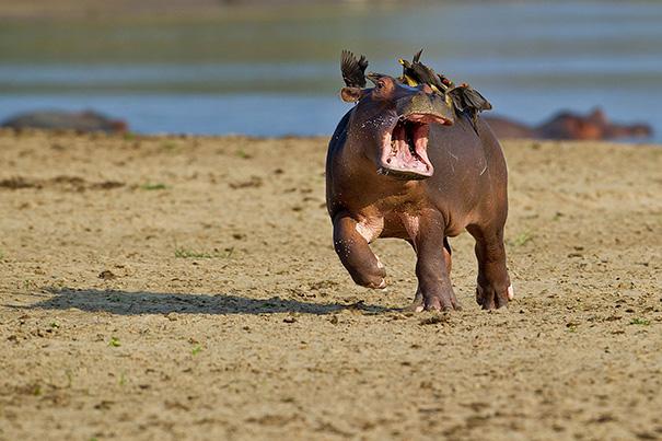 hipopótamo padeciendo con pájaros