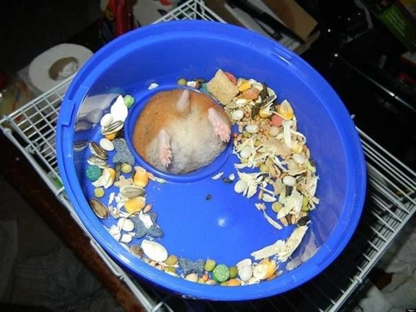 hamster gordo atorado