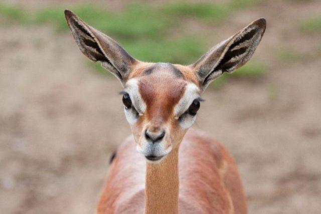 ciervo cuello de jirafa