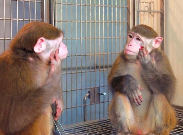 mono viéndose en el espejo