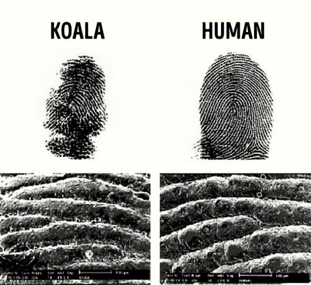 huellas humano y koala