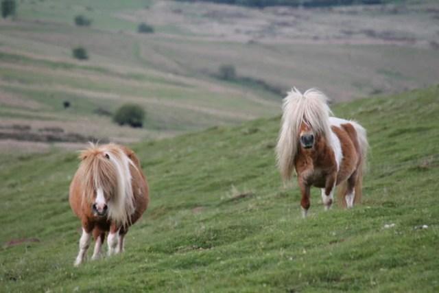 Ponys pelo liso