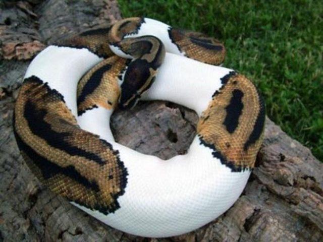 Serpiente con máculas blancas por albinismo parcial
